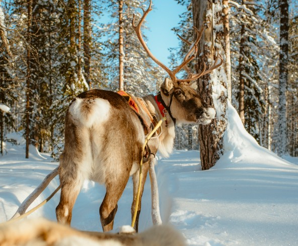 picture of Reindeer